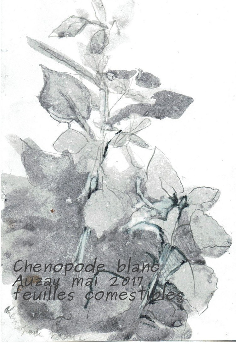 croquis chenopode blancaveclegende